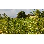 Konopný čaj list a květ 40g